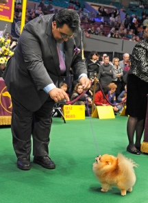 Scenes from the Westminster Kennel Club Dog Show at Madison Square Garden, NYC.